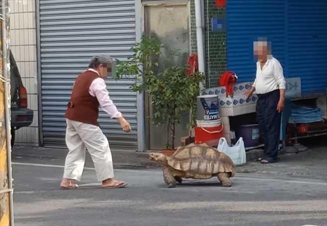 屏東潮州一名邱姓阿嬤近日帶著寵物蘇卡達陸龜「小乖」上街散步。(圖/翻攝自臉書社團《路上觀察學院》)