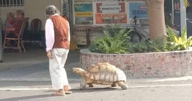 上街遛巨大烏龜超吸睛!屏東嬤「把牠當孫子疼21年」 自曝最擔心1事